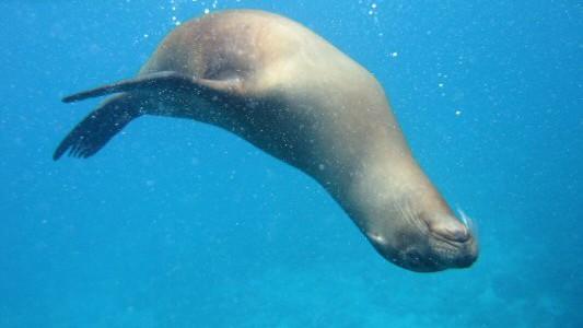 Søløver på Galapagos